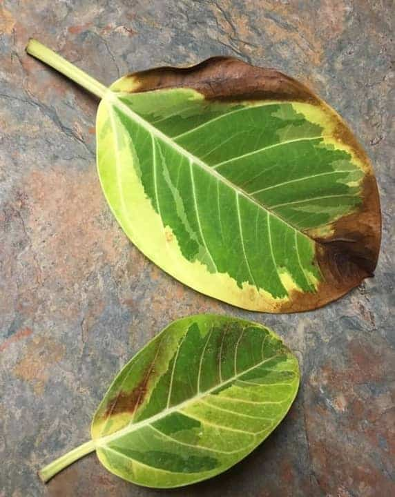 Rubber plant leaves have brown spots or turning brown and crispy due to low humidity