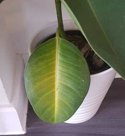 Rubber Plant Leaves Turning Yellow Due to Nutrient Defficiency