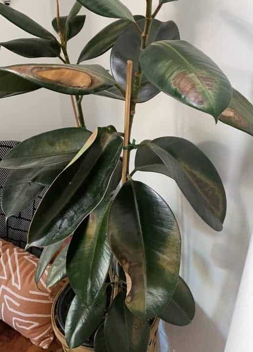 Rubber plant leaves have brown spots due to excess sun or light exposure