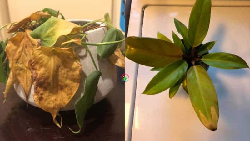 Indoor potted philodendron dying
