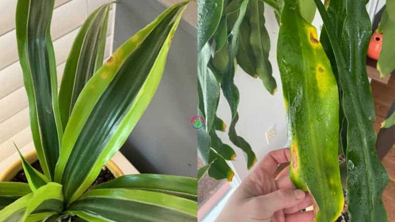 Indoor dracaena or corn plant showing yellow spots on leaves