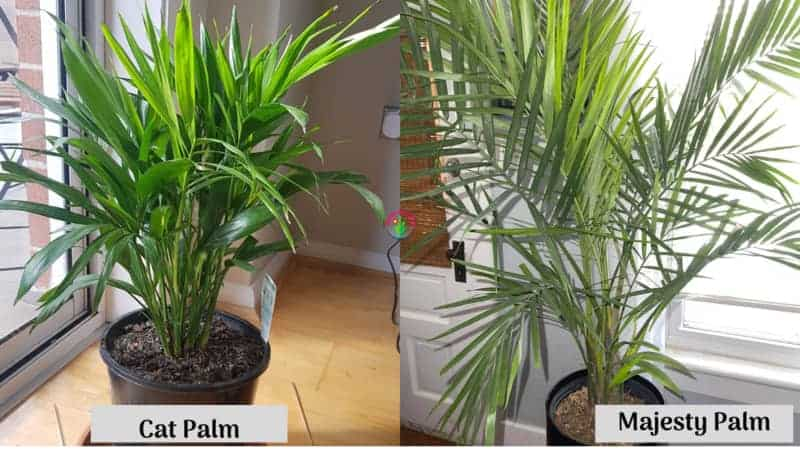 Differences Between Cat Palm and Majesty Palm