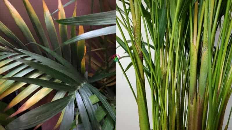 Areca Palm Leaves Turning Yellow