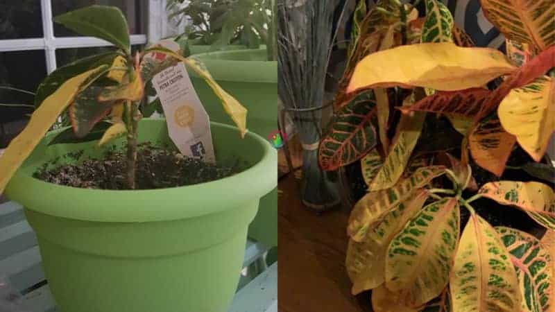 Indoor potted Croton Plant Dropping