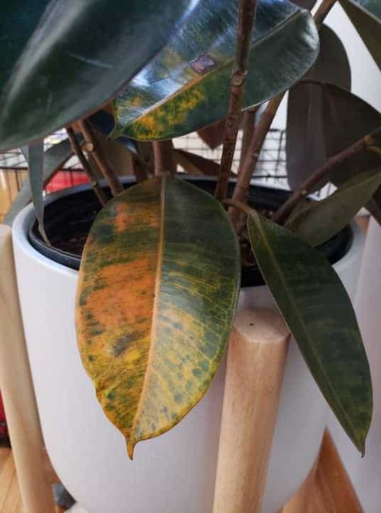 Rubber plant leaves turning yellow due to underwatering