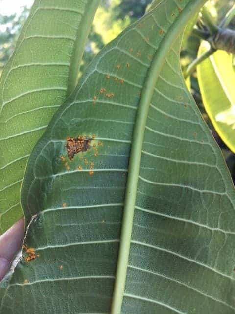 Rust on plumeria leaves