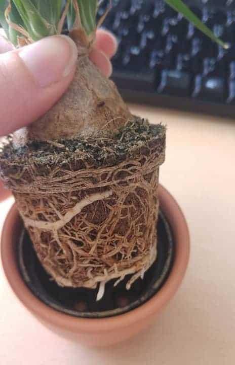 Ponytail palm root bound