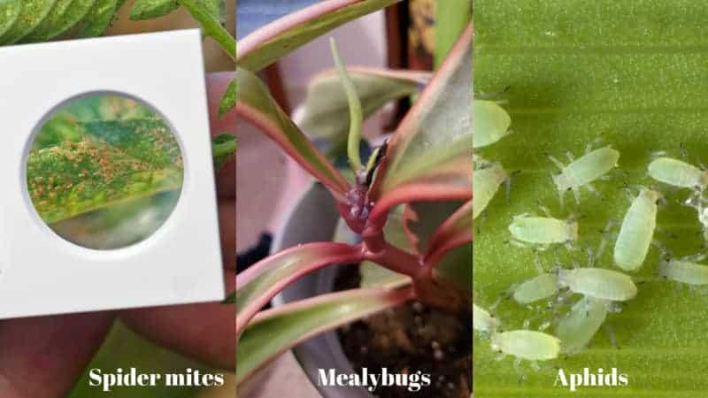 Bugs-on-Peperomia