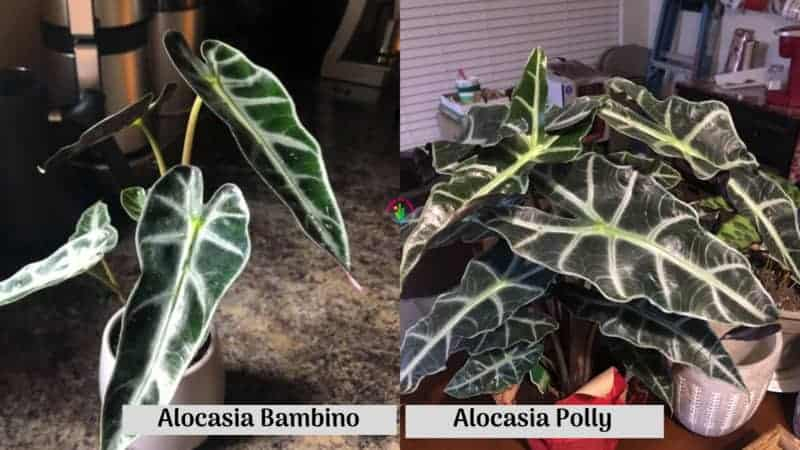 Differences Between Alocasia Bambino and Alocasia Polly