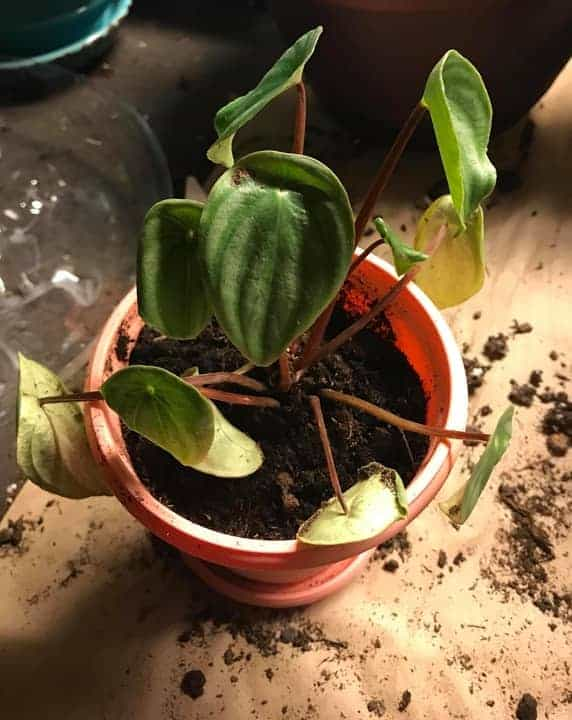Overwatered-peperomia-drooping