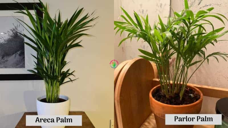 Difference between Parlor Palm and Areca Palm
