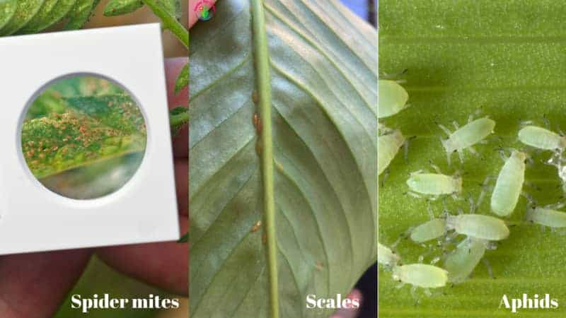 Common Bugs on Peace lily