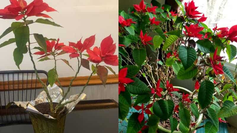 Poinsettia Dropping Leaves