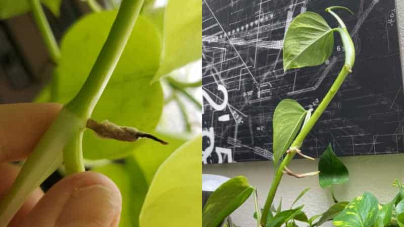 Pothos Growing Aerial Roots