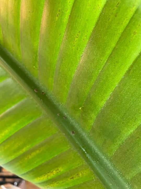 Scale Insects on Bird of Paradise