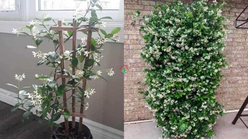 Star Jasmine Growth rate