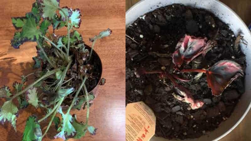 Begonias Dying