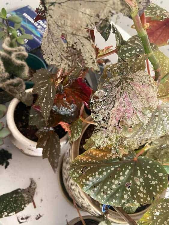 Begonia Dying Due to Pest Infestation