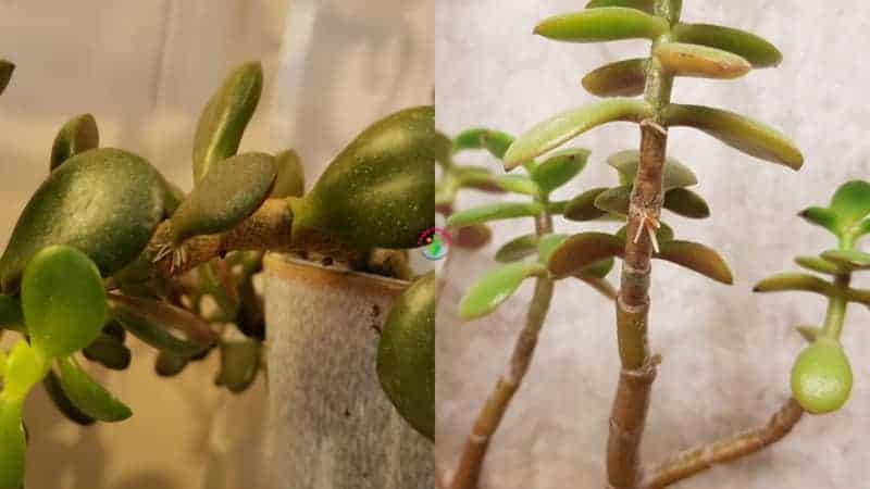 Jade Plant Growing Aerial Roots