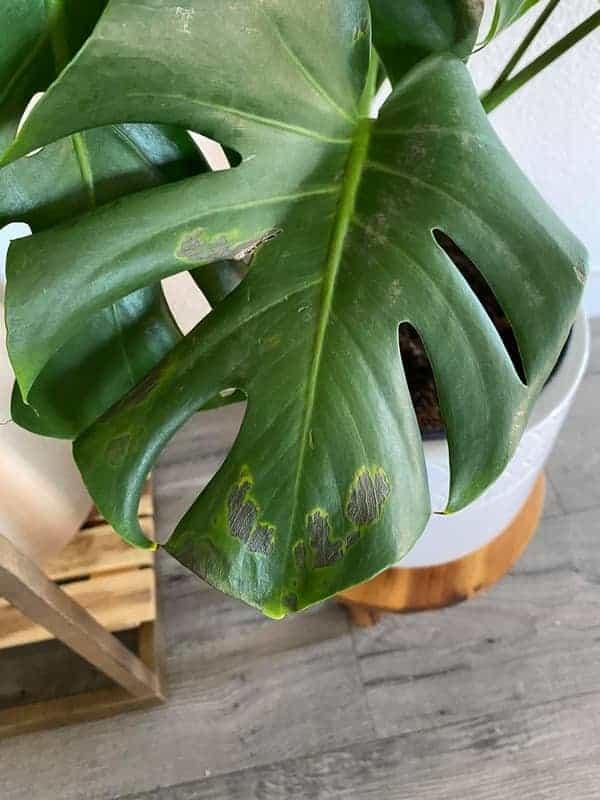 Monstera-Leaf-Spot-Disease