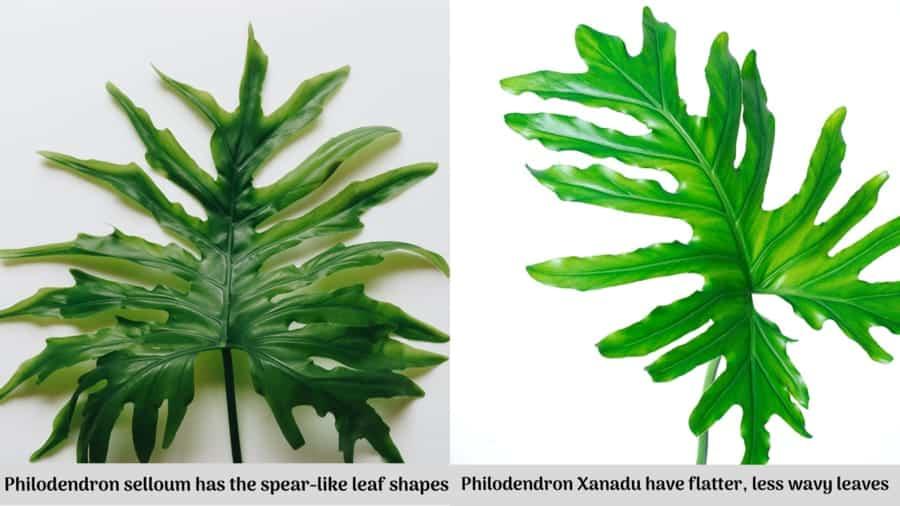 Philodendron Selloum vs Xanadu Leaves