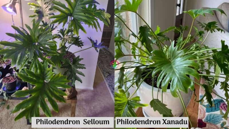 Philodendron Selloum vs Xanadu
