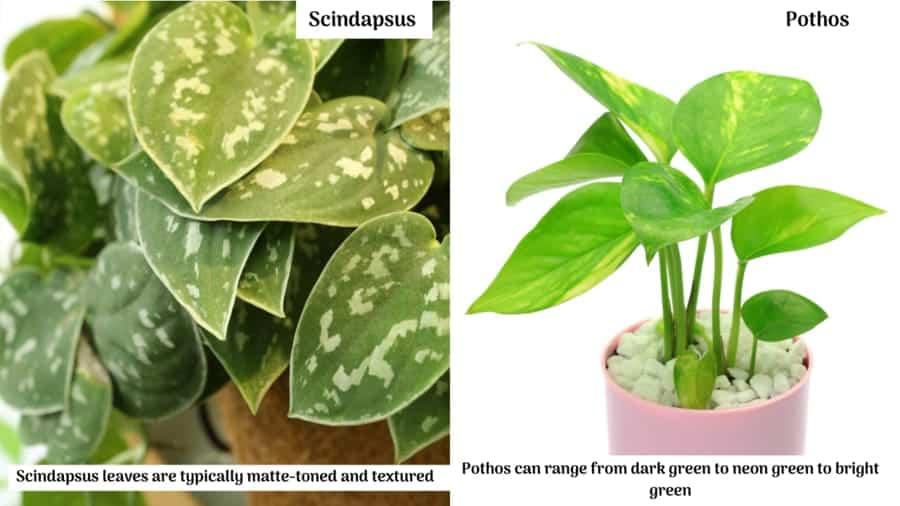 Scindapsus vs Pothos