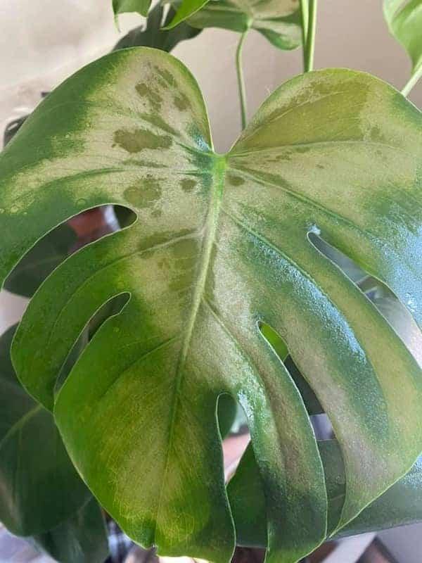 Sunburned Monstera Leaves