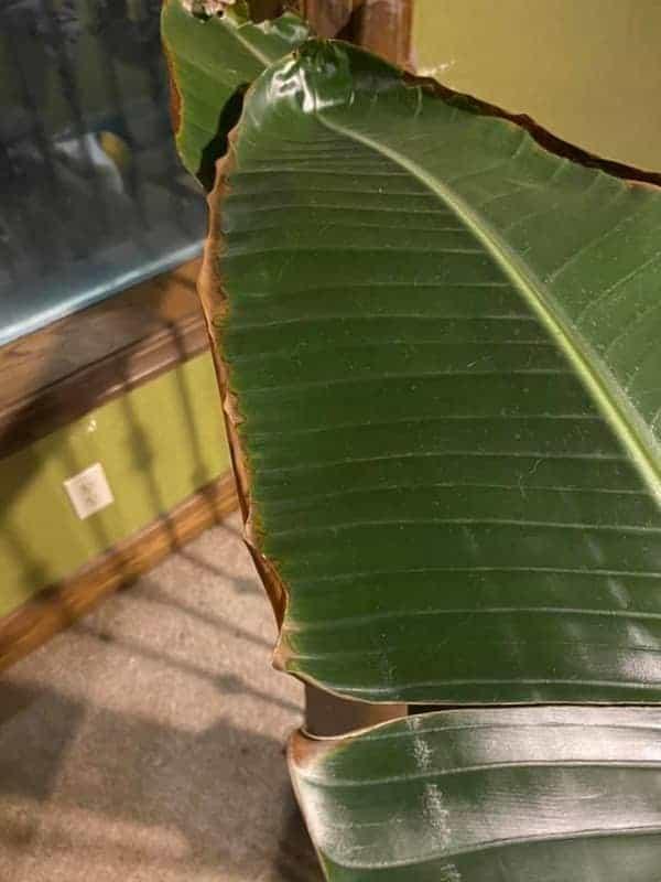 Underwatered Brid of Paradise Leaves Turning Brown