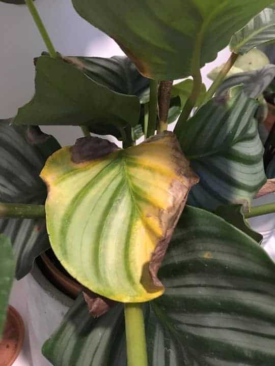 Yellowing of Leaves Because of Root Rot