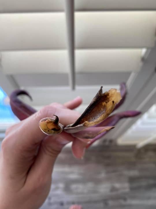 Swollen and Mushy Calathea Stem Due To Root Rot