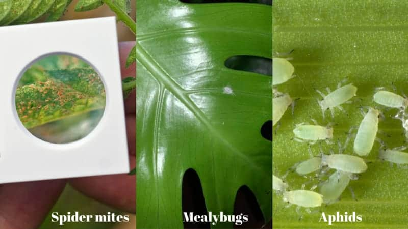 Common Insects on Monstera