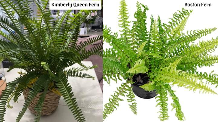 Kimberly Queen Fern vs Boston Fern