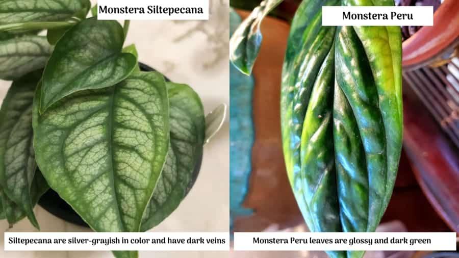 Monstera Siltepecana vs Monstera Peru Leaves