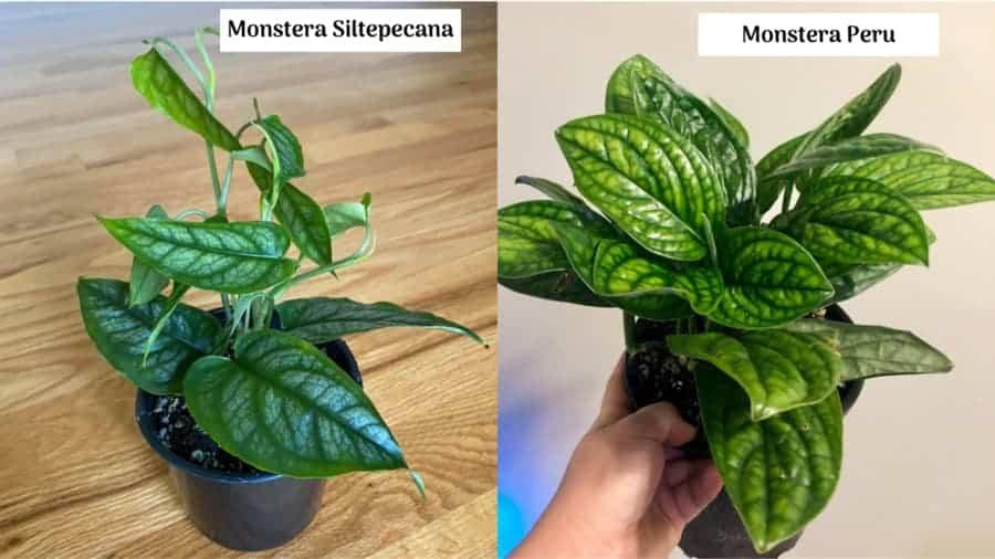 Monstera Siltepecana vs Monstera Peru