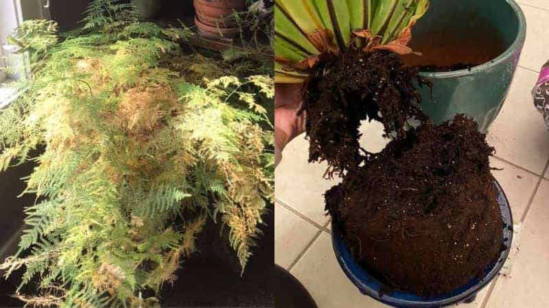 Signs of Overwatered Fern