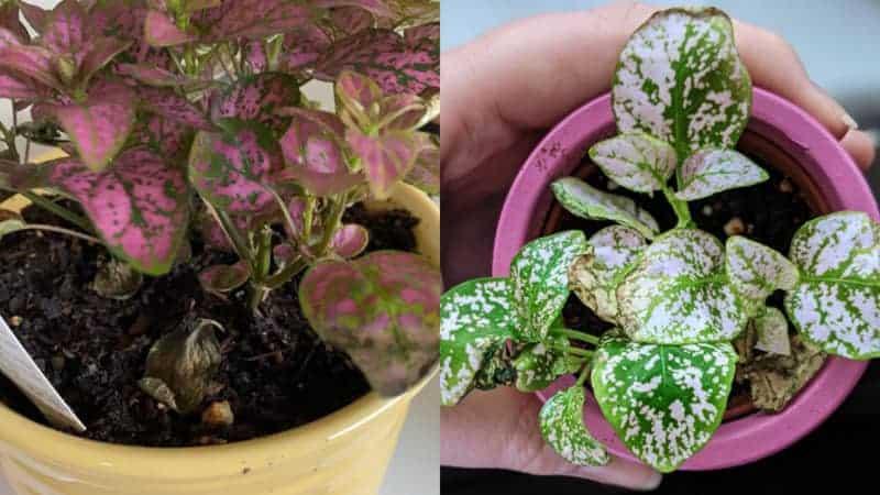 Polka Dot Plant Dying