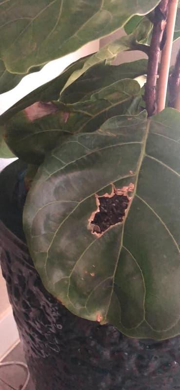 Boron Deficiency on Fiddle Leaf Fig