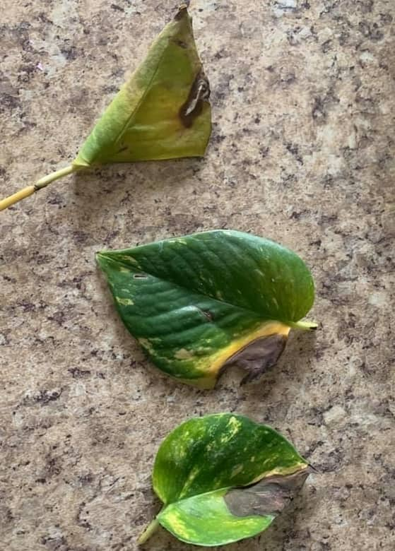 Leaf Burn and Drying Out