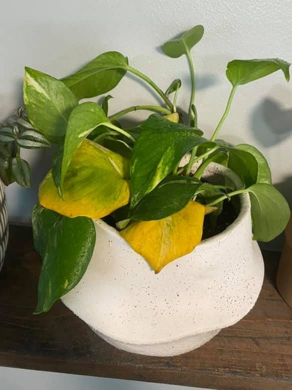 Golden Pothos Turning Yellow Due to Nutrient Deficiency