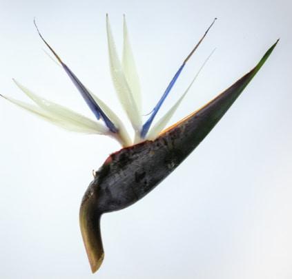 Strelitzia Nicolaior White Bird of Paradise Flower